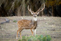 Axis Buck Royalty Free Stock Photo