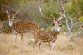 Axis deer buck wild south texas chital or spotted Stock Images