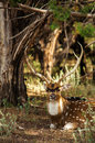 An axis deer is sitting on ground the fossil rim wild center glen rose texas usa Stock Photos