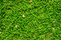 Axonopus compressus garden lawn its comman names are american carpet grass broadleaf carpet grass tropical carpet grass blanket Royalty Free Stock Photos