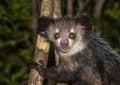 Aye-aye, nocturnal lemur of Madagascar Royalty Free Stock Photo