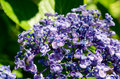 Ayesha bigleaf hydrangea. Royalty Free Stock Photo