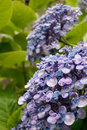 Ayesha bigleaf hydrangea Royalty Free Stock Photo