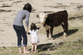 Ayrshire cattle mother and her daugther play with in a dairy farm Royalty Free Stock Image