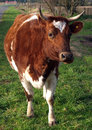 Ayrshire Cow Royalty Free Stock Photography