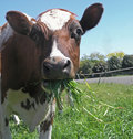 Ayrshire Cow Eating Royalty Free Stock Photography