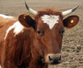 Ayrshire Heifer Royalty Free Stock Photo