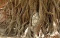 Ayutthaya kingdom thailand head of sandstone buddha in the tree roots at wat mahathat Royalty Free Stock Photos