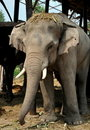 Ayutthaya, Thailand:  Elephant at Thai Kraal Royalty Free Stock Photos
