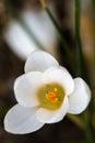 Azafrán blanca floreciente (lat. Azafrán) Imágenes de archivo libres de regalías