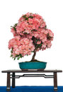 Azalea as bonsai tree with flowers Stock Photo