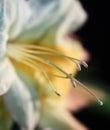 Azalea Blossom Macro