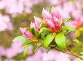 Azalea blossom in spring Royalty Free Stock Photography