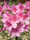 Azalea blossoms with long stamen and pistils under sun Royalty Free Stock Photo
