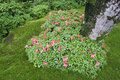 Azalea bush blooming in shape of heart in japanese zen garden Stock Photos