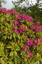 Azalea bush close up bouquet of flowering shrub Royalty Free Stock Photography
