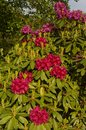 Azalea bush close up bouquet of flowering shrub Stock Images