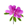 Azalea flower isolated on white background Stock Photography