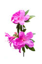 Azalea flower isolated on white background Royalty Free Stock Photography