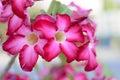 Azalea flowers Royalty Free Stock Photo