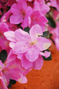 Azalea Kirin Flowers Stock Photography