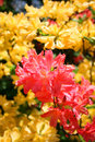 Azalea Rhododendron Royalty Free Stock Photo