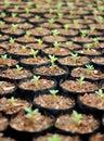 Azalea saplings