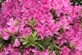 Azalea tree with pink flowers growing on a inside photo taken on mar Royalty Free Stock Image