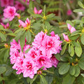 Azaleas blossoming Royalty Free Stock Photography