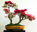 Azaleas bonsai Royalty Free Stock Photo