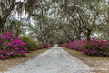 Azaleas and Spanish Moss Royalty Free Stock Photo