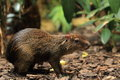 Azara's agouti Stock Photos