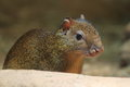 Azara's agouti Royalty Free Stock Photo