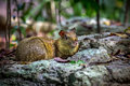 Azara's Agouti rodent Royalty Free Stock Photo