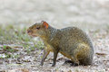 Azara's Agouti sat on bare ground Royalty Free Stock Photo