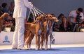 Azavak hounds in the show ring july th paris france group of at world dog Royalty Free Stock Photo