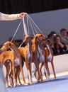 Azavak hounds in the show ring july th paris france group of at world dog Royalty Free Stock Photography