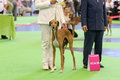 Azawakh hound at dog show july th paris france in the ring the world Stock Photo
