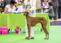 Azawakh hound at dog show july th paris france swalas simba ijlimaa in the ring the world Royalty Free Stock Photo