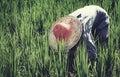 Aziatisch de cultuurconcept van landbouwersharvesting rice nature Royalty-vrije Stock Foto