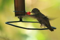 Azure-crowned hummingbird Stock Images