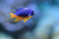 Azure damselfish Stock Photography