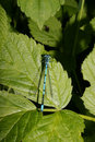 Azure Damselfly (Coenagrion puella) Stock Photo