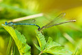 Azure Damselfly,Coenagrion puella Stock Images