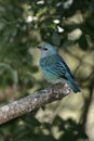 Azure shouldered tanager thraupis cyanoptera single bird on branch brazil Royalty Free Stock Photos