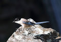 Azure winged magpie in monfrague national park extremadura spain Stock Image
