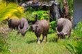 Büffel auf KOH Kho Khao Insel Stockbild