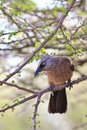 Babbler, Black-faced - African Eyes Royalty Free Stock Photos