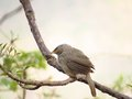 Babbler perched on twig this is probably jungle photo is taken in gir forest gujarat state india Royalty Free Stock Photos