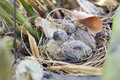 Babies bird in the nest Royalty Free Stock Photo